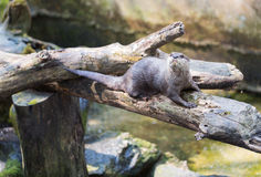 Spotted-necked otter (Lutra maculicollis) Stock Images