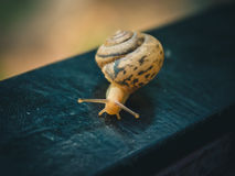 Spotted nice little snail crawling Royalty Free Stock Image