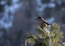 Spotted nutcracker Royalty Free Stock Photo