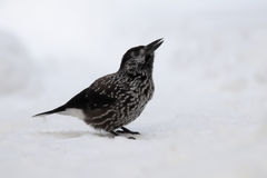 Spotted nutcracker sitting in snow Stock Photography