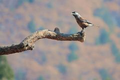 Spotted Nutcracker. A Spotted Nutcracker stands on branch. Scientific name: Nucifraga caryocatactes Stock Images