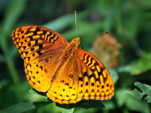 Spotted Orange Butterfly on Green Vegetation. A furry orange butterfly with spotted wings spread sitting on a green plant with a blurred background of green Royalty Free Stock Photography