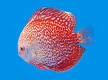 Spotted orange discus. Spotted orange discus, freshwater fish native to the Amazon River in blue background Royalty Free Stock Photography