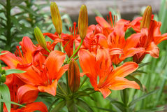 spotted orange lilies growing in the garden Royalty Free Stock Photos