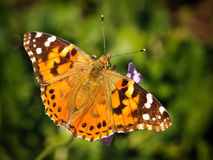 Spotted Orange Spring Butterfly on Vegetation. Furry Spotted Orange Spring Butterfly sitting on Green Vegetation with wings spread open and aperture blurred Royalty Free Stock Photo