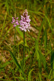 Spotted orchid flower Stock Image