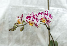 Spotted orchids Royalty Free Stock Photography