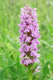 Spotted orchis Royalty Free Stock Images