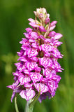 Spotted Orchis (Orchis maculata) Royalty Free Stock Image