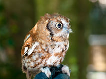 Spotted owl Royalty Free Stock Image