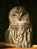 spotted owl Stock Photography
