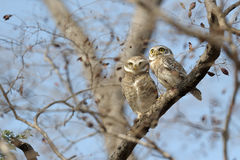 Spotted Owl Royalty Free Stock Photos