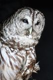 Spotted Owl Royalty Free Stock Photo