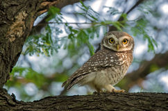Spotted Owl. A beautiful Spotted Owl on tree,Indore, Madhya Pradesh, India Stock Photo