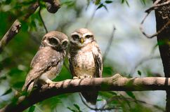 Spotted owl pair. Spotted owlets cuddling in sunlight. Location : Sultanpur national park, Haryana Country:India royalty free stock image