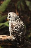 Spotted Owl. Photographed in Muir Woods National Monument located in California stock photo