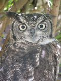 Spotted  owl with  photographer  reflecting  in  his  eyes Stock Photography