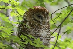 Spotted Owl (Strix occidentalis lucida) Stock Image