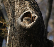 Spotted owlet. A spotted owlet awake in it's hollow Stock Image