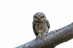 Spotted Owlet or Athene brama. Stock Photo