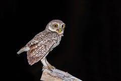 Spotted Owlet or Athene brama. Stock Photos