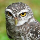 Spotted owlet or athene brama bird Stock Image