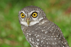 Spotted owlet or athene brama bird Royalty Free Stock Images