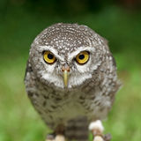Spotted owlet or athene brama bird Royalty Free Stock Photography