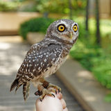 Spotted owlet or athene brama bird Stock Photo