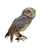 Spotted owlet or athene brama bird Stock Image