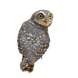 Spotted owlet or athene brama bird Royalty Free Stock Image