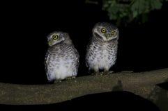 Spotted owlet Athene brama Stock Image