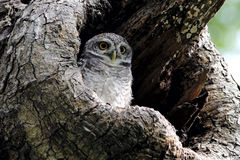 Spotted owlet Athene brama Stock Photography