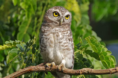 Spotted owlet Athene brama Birds of Thailand Royalty Free Stock Photography