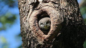 Spotted owlet Athene brama Birds in Tree Hollow stock video footage