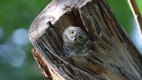 Spotted owlet Athene brama Birds in tree hollow stock footage