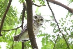 Spotted owlet. Athene brama in Khao Yai National Park, Thailand Stock Photos