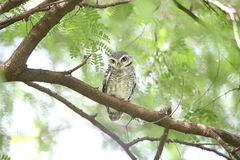 Spotted owlet Stock Image