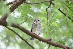 Spotted owlet. Athene brama in Khao Yai National Park, Thailand Royalty Free Stock Photography