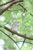 Spotted owlet Royalty Free Stock Photography