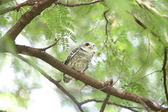 Spotted owlet. Athene brama in Khao Yai National Park, Thailand Royalty Free Stock Images