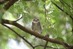 Spotted owlet. Athene brama in Khao Yai National Park, Thailand Royalty Free Stock Photo