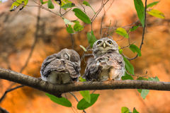 Spotted owlet Royalty Free Stock Images