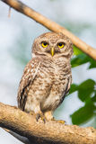 Spotted owlet( Athene brama) Stock Photo