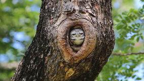 Spotted owlet Athene brama Nest in tree hollow stock video