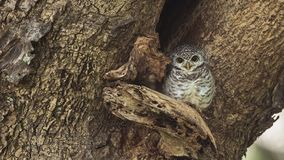 Spotted Owlet On Tree Hollow. Spotted owlet, Athene brama, is outside her nest on tree hollow looking at the camera in Thailand royalty free stock images