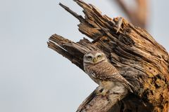 Spotted owlet Athene brama sitting on a tree in Keoladeo Ghana. National Park,  Bharatpur, India. The park is a World Heritage Site Stock Image