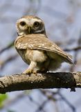 The spotted owlet Athene brama. Is a small owl which breeds in tropical Asia from mainland India to Southeast Asia Stock Photos