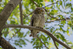 Spotted owlet. The spotted owlet Athene brama is a small owl which breeds in tropical Asia from mainland India to Southeast Asia. A common resident of open Royalty Free Stock Photo