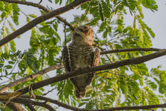 Spotted owlet Stock Images